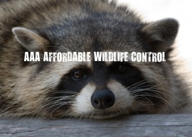 Affordable Wildlife Control, Toronto